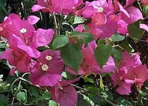 Flores de Bugambilia